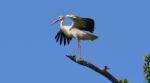 Xplorer, XP Pro de Nan Models et les Cigognes blanches landaises